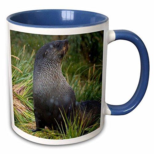 Fur Seal Islands - 3dRose Danita Delimont - Seals - South Georgia. Prion Island. Antarctic fur seal in a snowstorm. - 15oz Two-Tone Blue Mug (mug_225295_11)