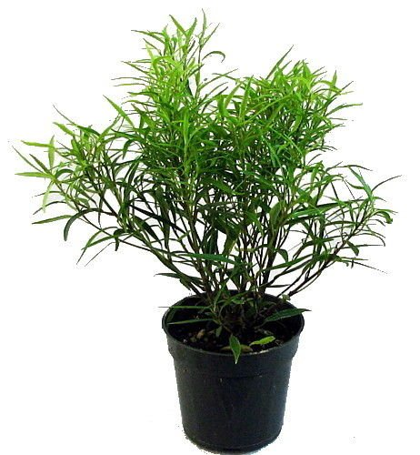 Bamboo Leaf Weeping Fig Tree - Bonsai/House Plant - 4'' Pot - Ficus nerifolia by yuni110
