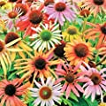 Mixed Coneflower Certified 40 Seeds #1998 Item UPC#636134973318