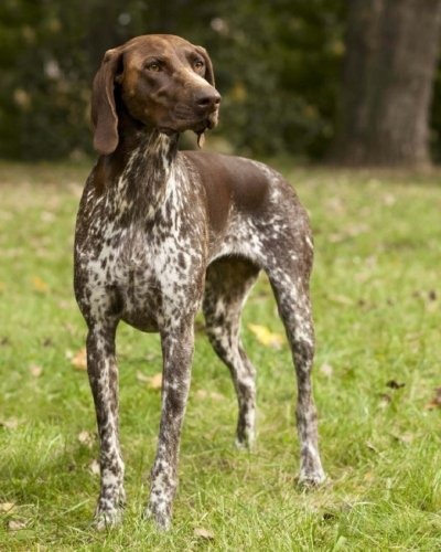 German Shorthaired Pointer: Artified Pets Journal/Notebook/Diary, 8