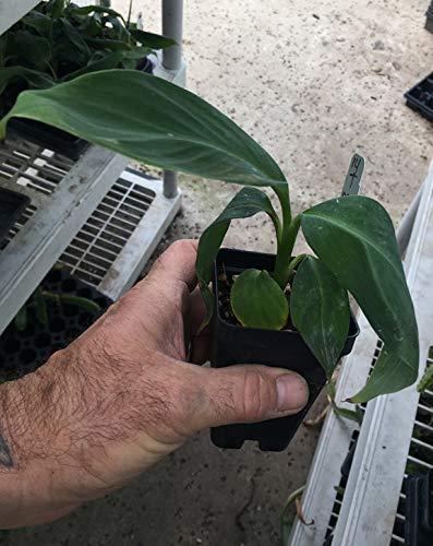 Ice Cream Banana Plant - Live Banana Tree''Ice Cream'' Rare Banana Plant by Natures Garden Nursery (Image #2)