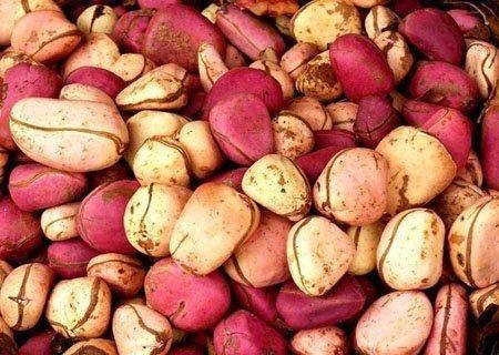 African Kola Nut - Kola Nut Fresh Crops Two Lobes