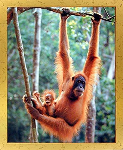 Orangutan Framed - 3