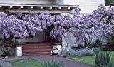 Blue Chinese Wisteria Vine 5 Seeds - Hard to Find!