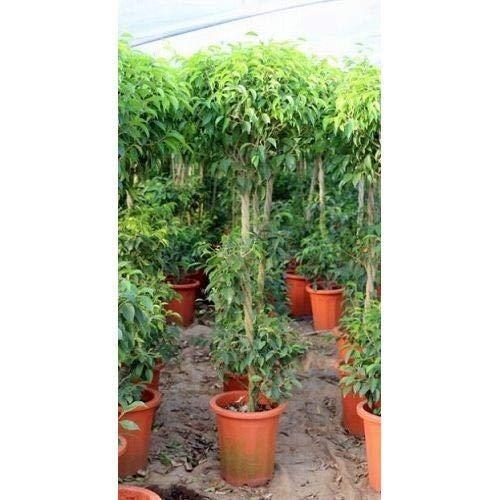 プランツネット 観葉植物 ベンジャミンリッチ スタンド 10号 K0106551 B07HZB5GLC