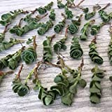 succulent ground cover Cal Summer Garden 50+Sedum John Creech Unrooted Cuttings Ground Cover Stonecrop Succulents