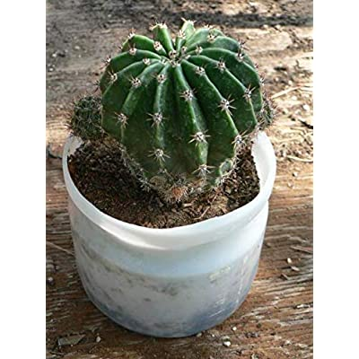 Fresh Cactus Plant Small Thelocactus Setispinus Hamatocactus Candy Barrel Get 3 Easy Grow #PTF01YN : Garden & Outdoor
