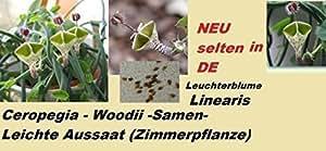 15x Ceropegia Woodii Samen Leuterblume Linearis Zimmerpflanze Neu 2016 Neue Sorte Samen Seltene Pflanze Rarität selten #207