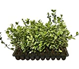 Confederate Jasmine Variegated - 40 Live Plants - Trachelospermum Jasminoides Variegatum - Fragrant Blooming Evergreen Vine