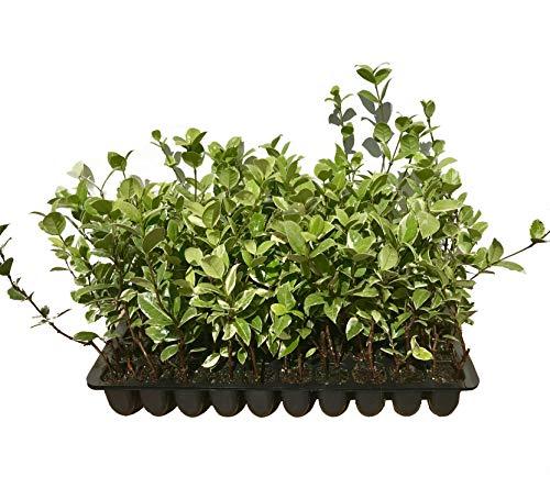 Confederate Jasmine Variegated - 3 Live Plants - Trachelospermum Jasminoides Variegatum - Fragrant Blooming Evergreen Vine