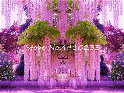10 pcs Japanese Purple Wisteria Fresh seedss Tree Amazing Climber Perennial Indoor Ornamental Plants for Home Garden: j
