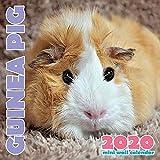 Guinea Pig 2020 Mini Wall Calendar