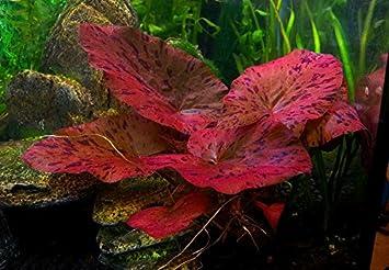 Biotopeaquatics 2 X Live Aquarium Bulb Nymphaea Zenkeri Rubra Red