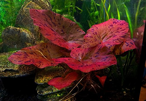 1 x live aquarium bulb - NYMPHAEA RUBRA Red Tiger Zenkeri Lotus - plant tropical fish tank hide for betta Biotope Aquatics Ltd