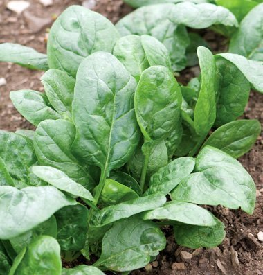 David's Garden Seeds Spinach Corvair DA2571GH (Green) 500 Organic Hybrid Seeds