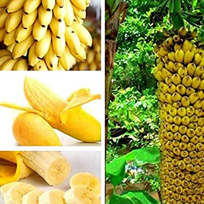 JingYu 10/20/30Pcs Dwarf Banana Tree Seeds, Bonsai Fruit Plant Suitable for Planting Home Garden Farm 10pcs : Garden & Outdoor