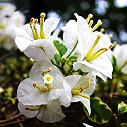 ADB Inc 100 Pcs/bag White Bougainvillea Seeds Perennial Flowering Plants Potted Charming Chinese Flowers