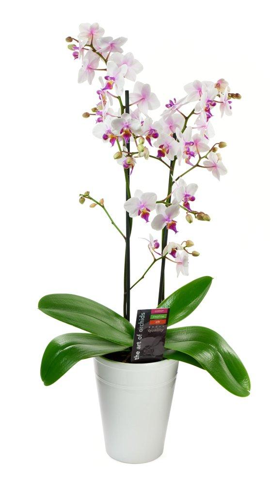 Kabloom Maxiflora Phalaenopsis Bicolor Orchid Plant, White Ceramic Pot