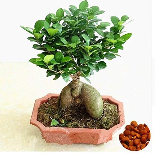 Go Garden 20 Pcs Seed Banyan Tree Bonsai Ficus Ginseng Bonsai Chinese Rare Ficus Microcarp -