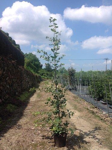 【ノーブランド品】ウバメガシ樹高1.0m前後15cmポット【10本セット】 B00W4VXHQ2