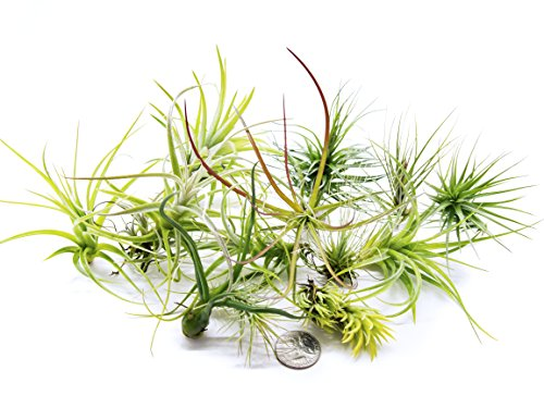 12 Air Plant Terrarium Kit - Tillandsia Variety Pack - Assorted Species of Live Air Plants for Sale - Bulk Indoor House Plants by Aquatic Arts (Easy Gravel Patio)