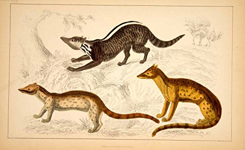1857 Hand-Painted Lithograph Art Genet Civet Mongoose Animals Wildlife Zoo HEA1 - Hand-Painted Lithograph from PeriodPaper LLC-Collectible Original Print Archive