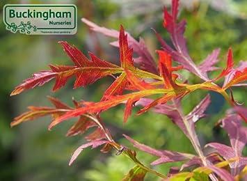 Acer Palmatum Dissectum Orangeola Japanese Maple Dissectum