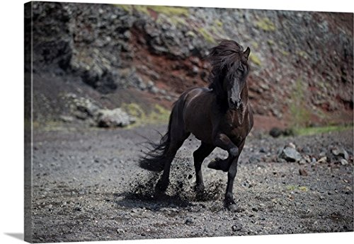 Great BIG Canvas Gallery-Wrapped Canvas entitled Icelandic Black Stallion, Iceland by greatBIGcanvas