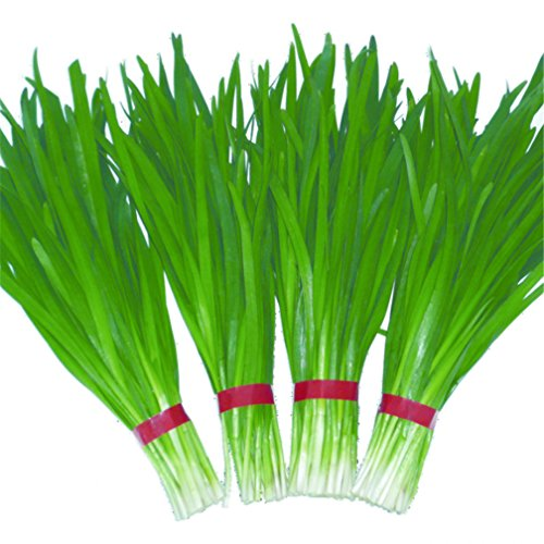 Vastravel Chinese Chive Leek 1000 Seeds for Planting Non-GMO Vegetable