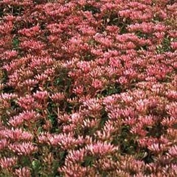 Outsidepride Trtd2919 Outsidepride Sedum Purple Carpet
