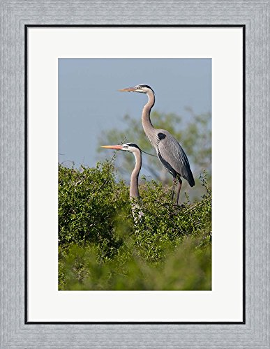 Great Blue Heron, pair in habitat, Texas by Larry Ditto / Danita Delimont Framed Art Print Wall Picture, Flat Silver Frame, 20 x 26 inches - Pictures Great Blue Herons