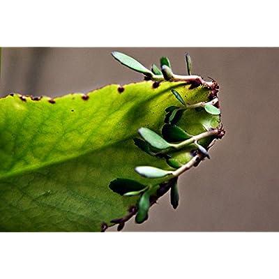 Kalanchoe Pinnata Miracle Leaf Wonder of World Hawaiian Love Plant Katakataka : Garden & Outdoor