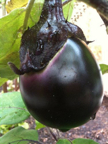 Kamo Eggplant Seeds - 2