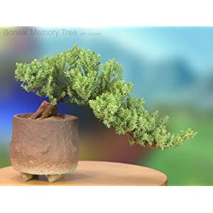 Juniper Bonsai Memory Tree