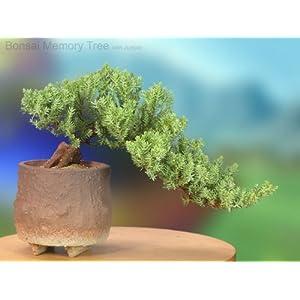 Juniper Bonsai Memory Tree