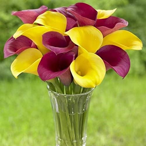 Amazon Com Calla Lilies Mix 6 Bulb Ideal For Pots And