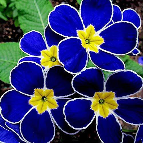 egrow 100pcs Blue Evening Primrose Seeds Rare Garden Fragrant Flower Bonsai Seed
