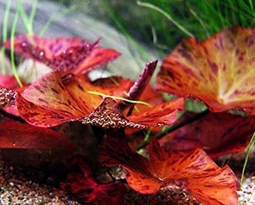 Nymphaea Rubra Bulb Dwarf Water Lily Live Aquarium Plants Decorations 3 DAY LIVE GUARANTEED By (Tigers Nano Case)