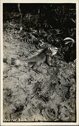 A Six Foot Iguana Other Animals Original Vintage Postcard from CardCow Vintage Postcards
