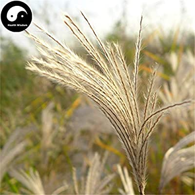Buy Miscanthus Sinensis Semente 200pcs Plant Grass Miscanthus Mang Cao : Garden & Outdoor