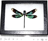 Bicbugs, LLC REAL FRAMED GREEN BLACK DRAGONFLY DAMSELFLY INDONESIA