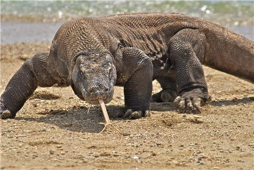 KOMODO DRAGON GLOSSY POSTER PICTURE PHOTO monitor lizard large scary (Komodo Monitors)