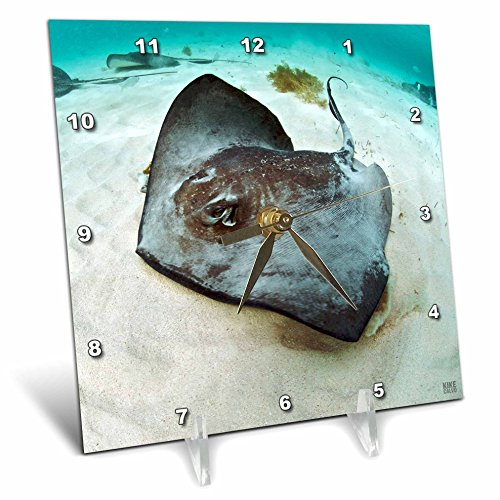 3dRose dc_45511_1 Southern Stingray 'Dasyatis Americana' in Blue Clean Caribbean Waters at Gibbs Cay-Desk Clock, 6 by 6-Inch Southern Stingray Dasyatis Americana