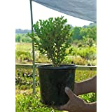 Green Beauty Boxwood (Lot of 10 plants in quart containers) Fast growing evergreen hedge