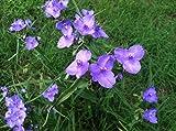 Spiderwort Purple Tradescantia 15 Bare Root Starter Plants Shade or Partial