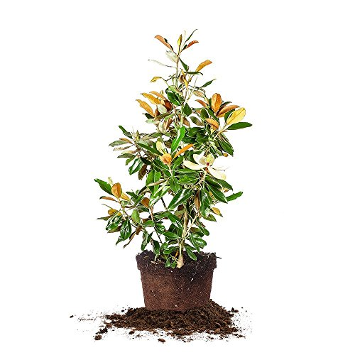 Bracken's Brown Beauty Magnolia - Size: 4-5 ft, live plant, includes special blend fertilizer & planting guide by PERFECT PLANTS