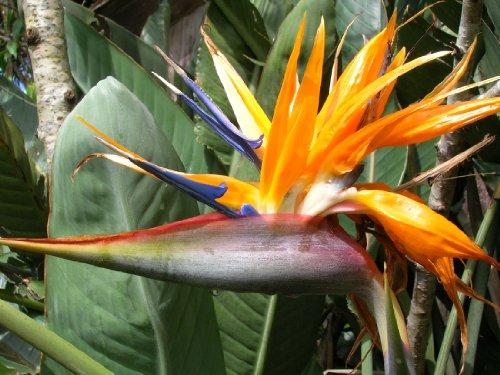 HAWAIIAN Bird of Paradise---10 seeds---Comes with the Hawaii Seal of Quality