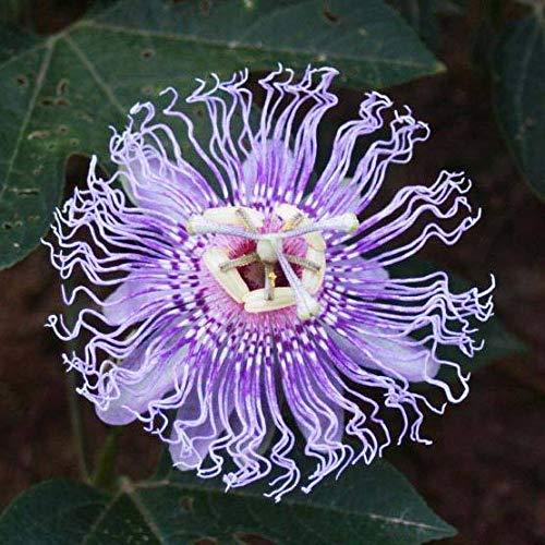 (Passiflora Incarnate - 25 Seeds - Purple Passion Flower - Maypop)