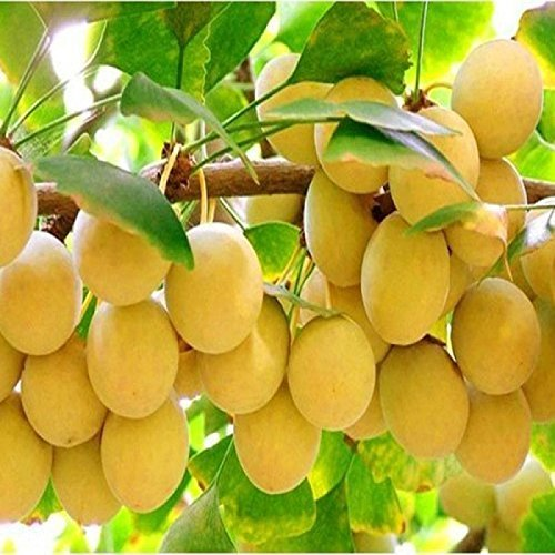 Shelled gingko fruit 1000 grams Grade A from Yunnan (中国白果银杏) by JOHNLEEMUSHROOM (Image #7)