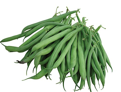 - Burpee Stringless Green Pod Bush Bean Seeds 8 ounces of seed